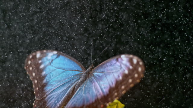 slo mo morpho butterfly spreading its wings in rain - butterfly stock videos and b-roll footage