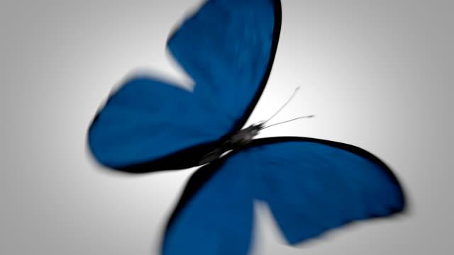 Morpho Menelaus Blue Butterfly Flying on a Green Screen