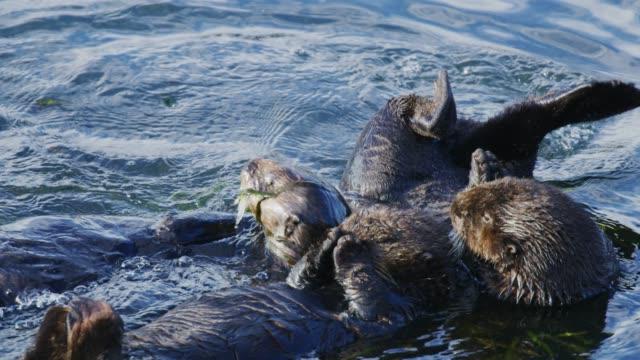 vídeos y material grabado en eventos de stock de nutrias de mar de morro bay en invierno - peludo