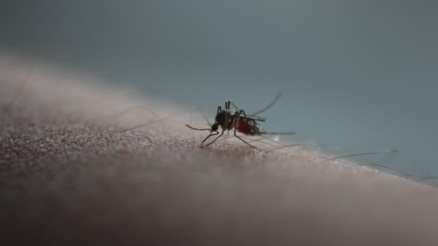 Mosquito bite drinking blood. Macro shot of mosquito bite drinking blood. east asia stock videos & royalty-free footage