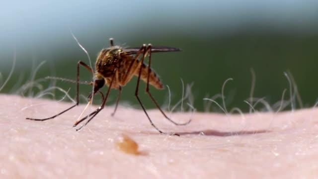 Sangue di zanzare Succhiare su Pelle umana - video