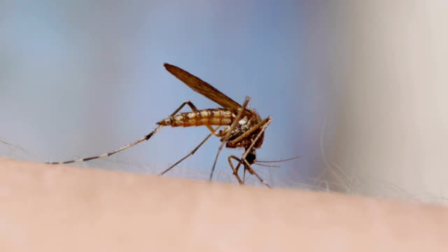 mosquito blood sucking on human skin - soltanto un animale video stock e b–roll
