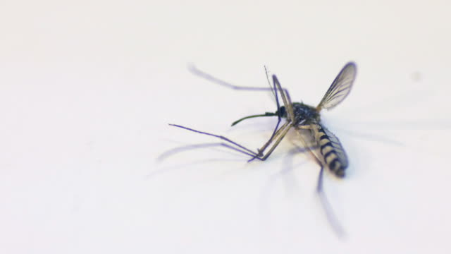 Mosquito dead on white table video