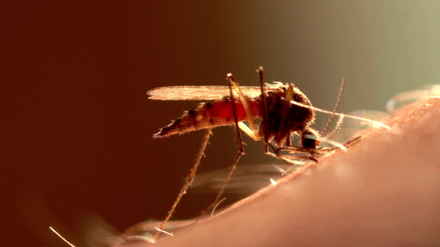 a mosquito drinks blood. - mordere video stock e b–roll