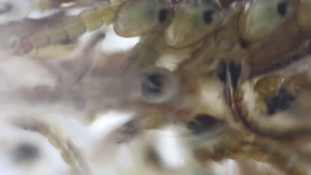 Mosquito Larva in the order Diptera, Anopheles sp. (Mosquito Larva) in the water for education. Mosquito Larva in the order Diptera, Anopheles sp. (Mosquito Larva) in the water for education. parasitic stock videos & royalty-free footage