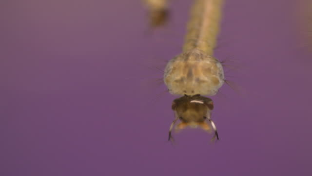 Mosquito Larva hatching in standing water parasitic stock videos & royalty-free footage