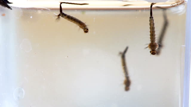 Mosquito Larvae video