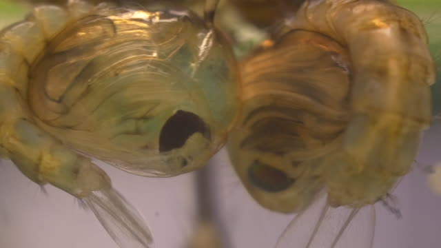 Mosquito Pupa video
