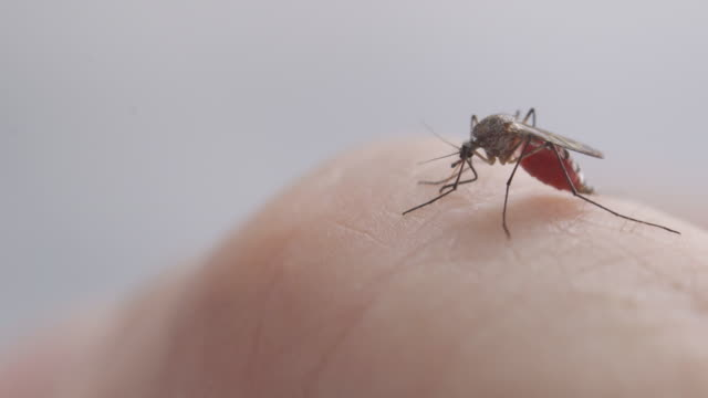 Mosquito Sucking Human Blood A close up video of a female Aedes mosquito on human skin, piercing the skin and sucking blood. parasitic stock videos & royalty-free footage