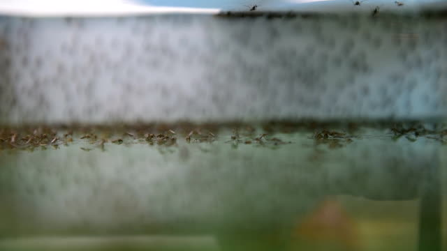 Mosquito Manual focus at Mosquito,Laboratory mosquito breeding. larva stock videos & royalty-free footage