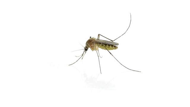zanzara - zanzare video stock e b–roll