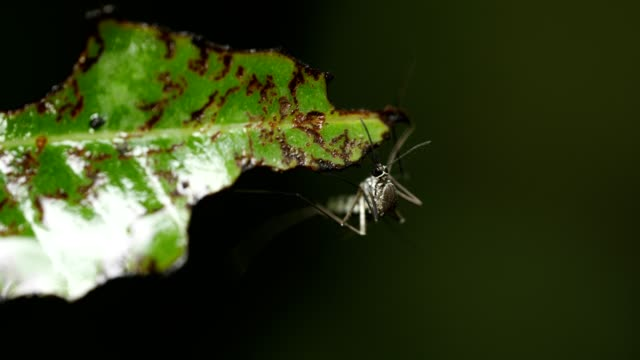Mosquitoes on green leaf in the forest. Mosquitoes on green leaf in the forest. parasitic stock videos & royalty-free footage