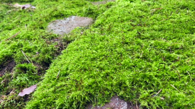 moss and rocks close-up. idyllic surroundings in the forest - muschio flora video stock e b–roll