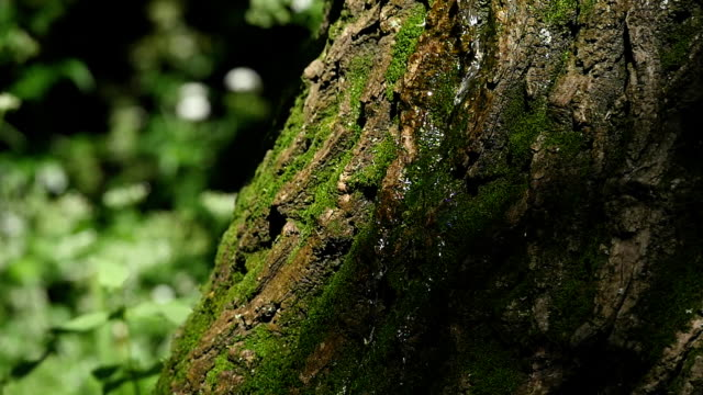 Moss detail on the bark of a tree. Selective focus video