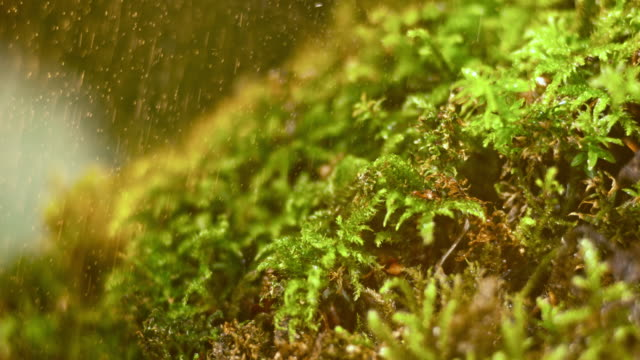 SLO MO LD Moss in a summer shower