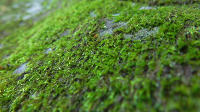 Moss In Wide Dolly Shot Super Slow Motion Video of small green moss in wide dolly shot super slow motion. 4K moss stock videos & royalty-free footage