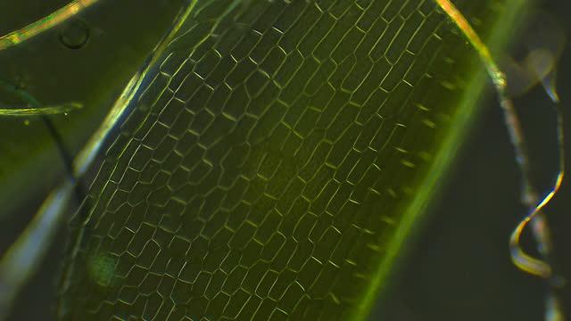 vidéos et rushes de feuille de mousse, grossissement microscopique - nervure