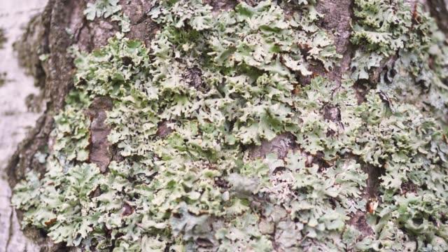 Moss on the bark of a tree close-up macro. Beautiful texture of the tree bark.