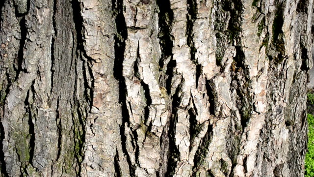 Moss on tree bark Tree in the spring plant bark stock videos & royalty-free footage