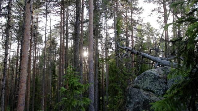 vídeos de stock, filmes e b-roll de um musgo, grande pedregulho em uma floresta conífera. paisagem mágica - penedo