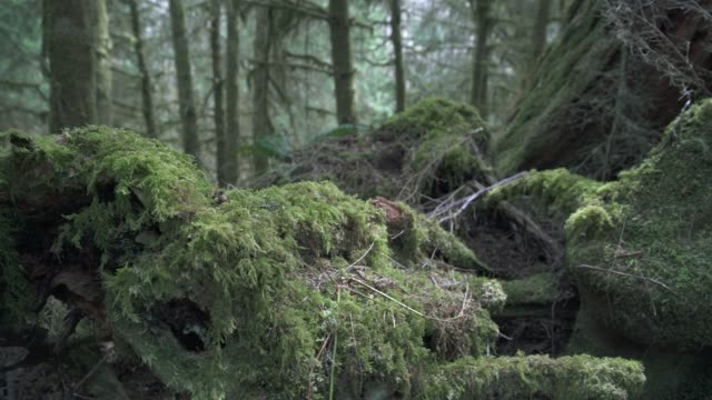 Mossy Log Pacific Northwest Forest 4K UHD