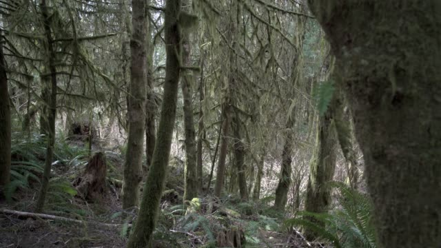 Mossy Pacific Northwest Forest 4K UHD