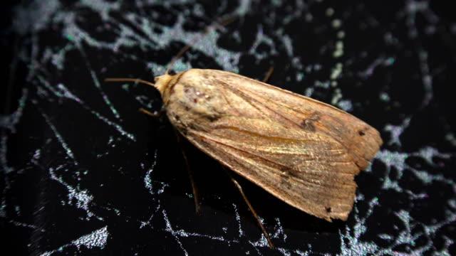 Moth Agrotis segetum isolated on marble Moth Agrotis segetum isolated on marble pantry stock videos & royalty-free footage