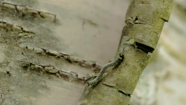 A moth curling up its body to climb up the stem FS700 4K video