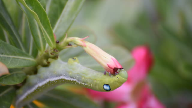Moth larvae or Caterpillars eat Mock Azalea flower video