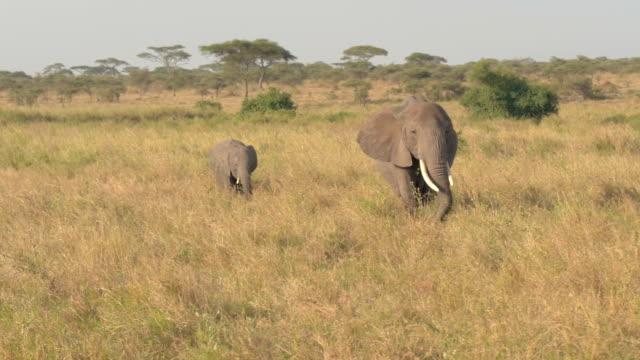 närbild: mor och baby elefant betar på savann gräsmark på morgonen - djurfamilj bildbanksvideor och videomaterial från bakom kulisserna