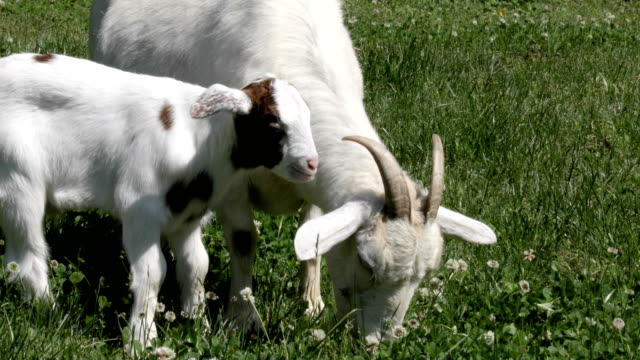 Mother and Baby goat Eating White Clover video