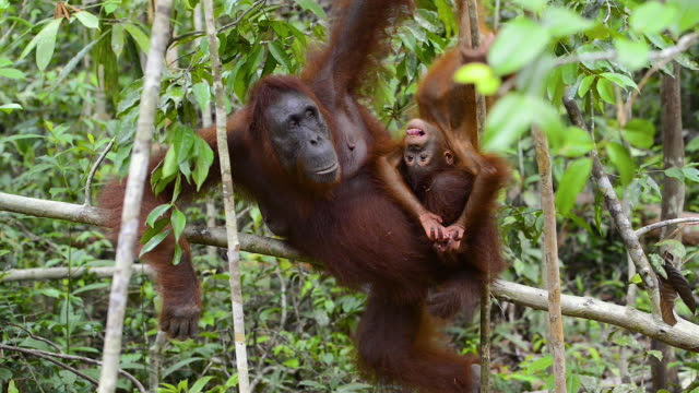 Mother and baby Orang Utan in the rainforest of Borneo