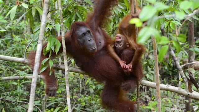 mor och baby orang utan i regnskogen i borneo - primat bildbanksvideor och videomaterial från bakom kulisserna