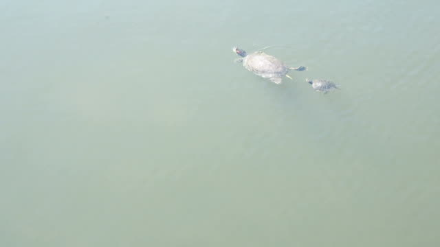 Mother and Baby Turtle Mother and baby turtle animal family stock videos & royalty-free footage