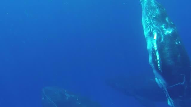 vídeos y material grabado en eventos de stock de una ballena jorobada madre y ternera nadan juntas - animal joven