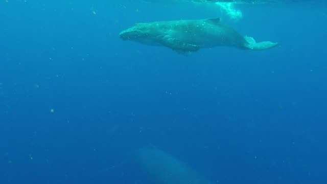 A mother and calf humpback whale swim together A mother and calf humpback whale swim together in Tonga. kelp stock videos & royalty-free footage
