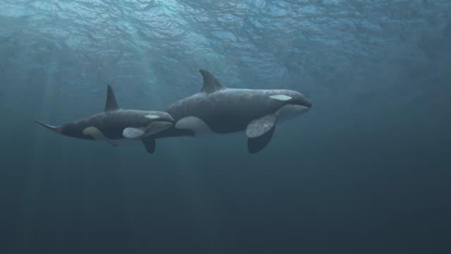 stockvideo's en b-roll-footage met moeder en kalf killer walvissen zwemmen geslaagd voor de camera - ocean under water