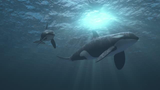 vidéos et rushes de mère et veau orca épaulard nage vers et passé la caméra - baleine