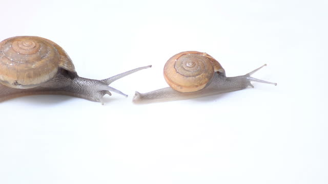 Mother and child Snail