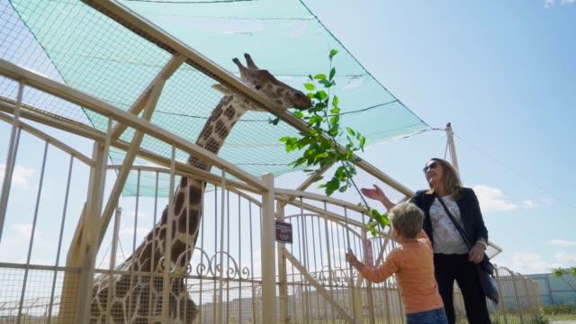 vidéos et rushes de mère et fils nourrissent girafe au zoo - zoo