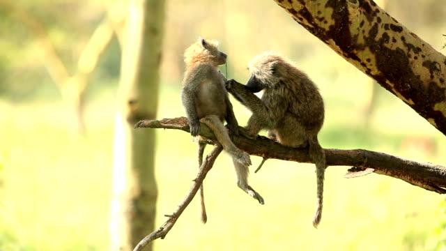 Mutter-Pavianart – Video