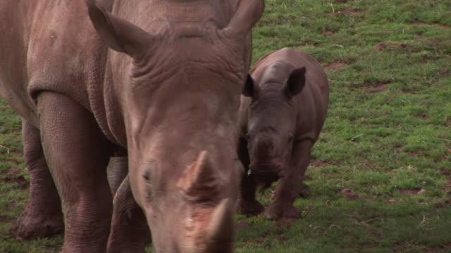 Mother & Baby Rhinos - HD & PAL video