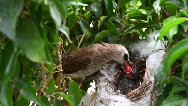 Mother bird feeding baby birds in a nest of  yellow-vented bulbul (Pycnonotus goiavier), or eastern yellow-vented is a kind of bird at Thailand
