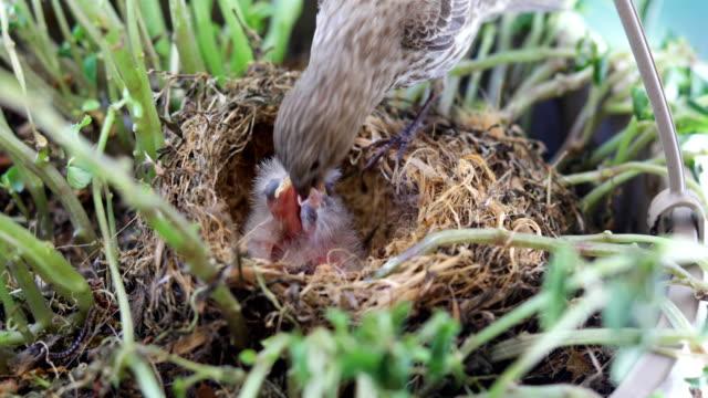 mother bird feeding baby birds in nest - młody ptak filmów i materiałów b-roll