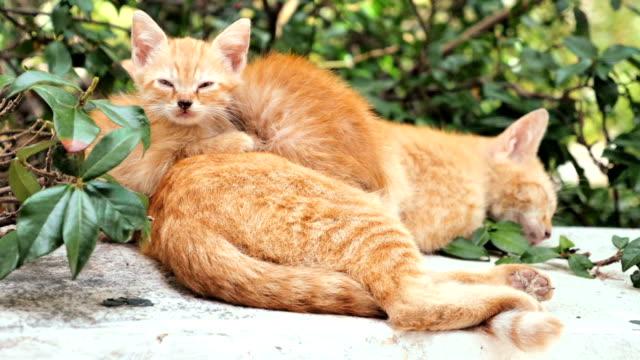 母供給 kittens 猫は、ペット - 子猫点の映像素材/bロール