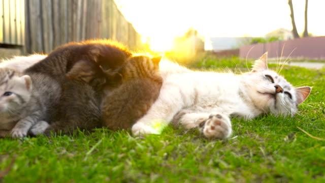 mamma katt utfodring kattungarna 4k - djurfamilj bildbanksvideor och videomaterial från bakom kulisserna