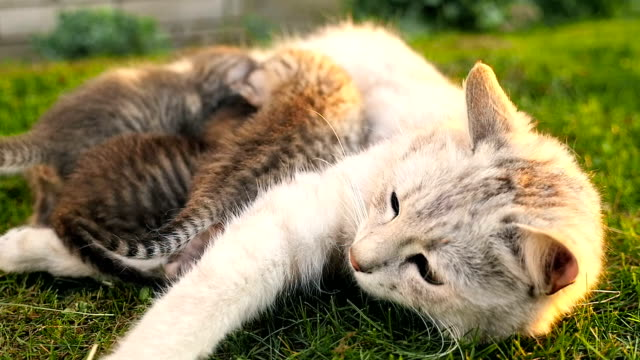 mamma katt utfodring kattungarna hd - djurfamilj bildbanksvideor och videomaterial från bakom kulisserna