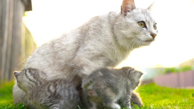 mamma katt ta hand om kattungarna 4 k - djurfamilj bildbanksvideor och videomaterial från bakom kulisserna