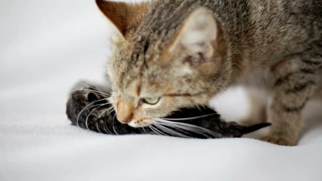 Mother cat with small blind kittens on a white background. video