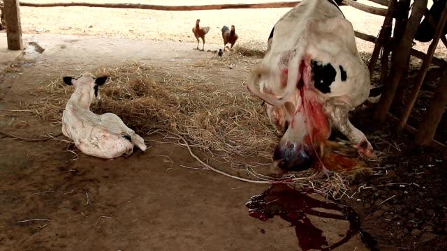 vidéos et rushes de mère de vache placenta de frai pour nouveau-né après - veau